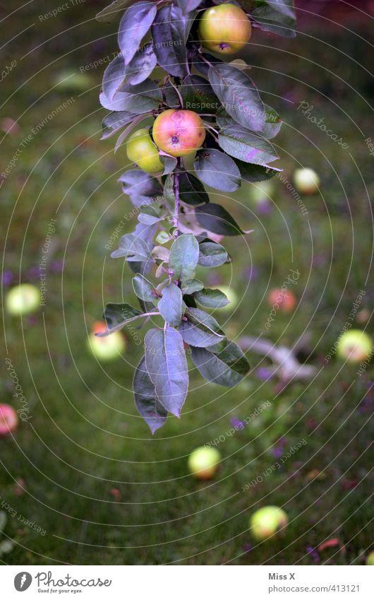 Apfelast Lebensmittel Frucht Ernährung Bioprodukte Vegetarische Ernährung Sommer Herbst Baum Blatt fallen hängen frisch Gesundheit lecker saftig sauer süß Ernte