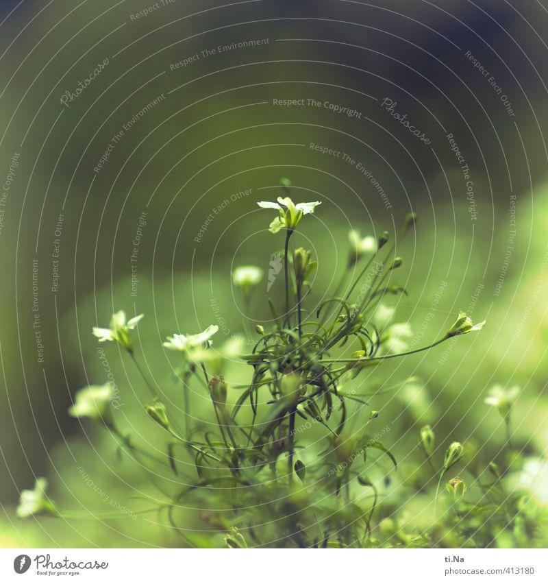 Filigranis Blumatis Pflanze Sommer Schönes Wetter Blume Blatt Blüte Grünpflanze Garten Blühend Duft verblüht Wachstum authentisch schön klein natürlich wild