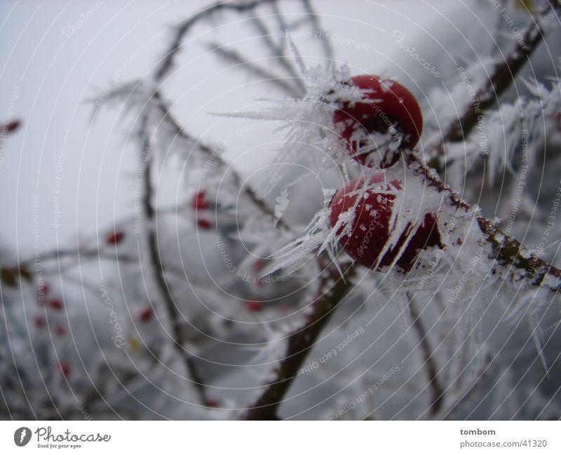 Hagebutte im Raureif Winter kalt Eis Frost gefroren Kristallstrukturen Eiszapfen