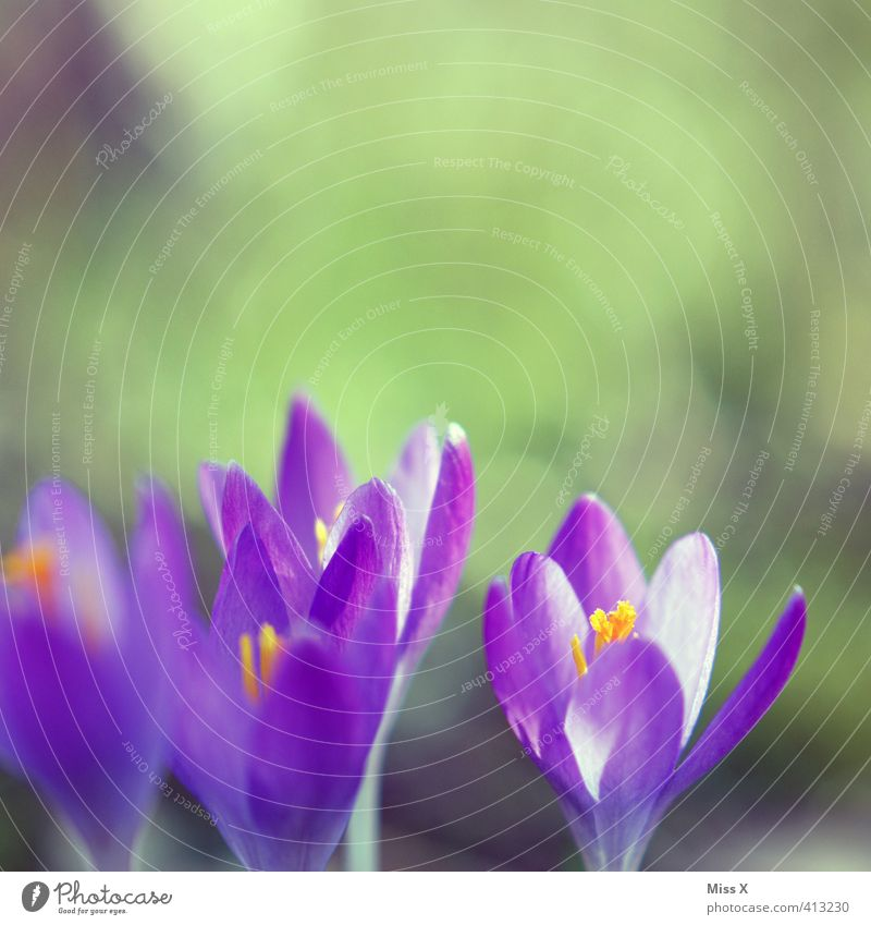 Krokus Pflanze Frühling Blume Blüte Blühend violett Farbe Hoffnung Natur Frühlingsblume Frühlingsfarbe Frühlingskrokus Krokusse Farbfoto mehrfarbig Nahaufnahme