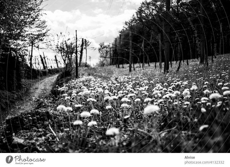 2021_4_4_Montemezzo_gelbe Blumen und Reben_1 Natur grün Pflanze Gras Feld Saison im Freien Landschaft Hintergrund Weinberg Ackerbau schön blau Himmel natürlich