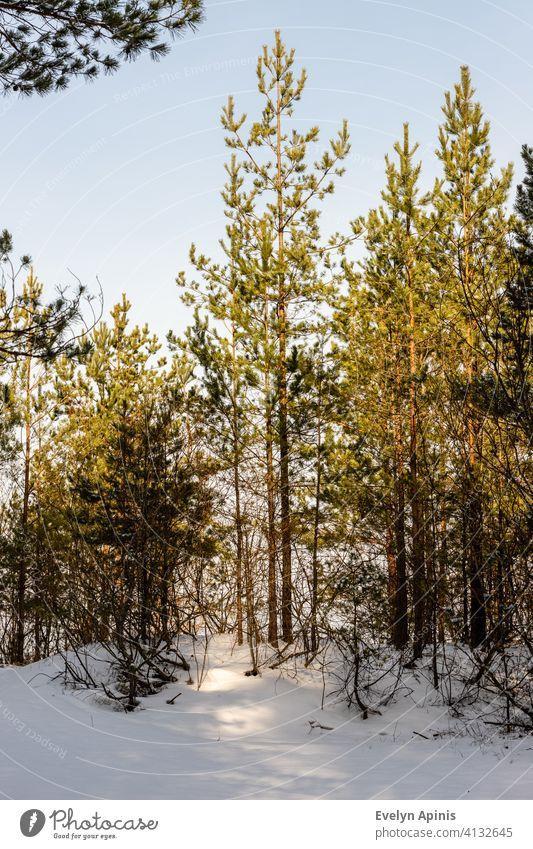 Vertikales Foto von jungen Kiefern im Schnee. Kleine Kiefern am hellen sonnigen Wintertag. Ostsee Wald im Winter in der Nähe von Meer. Baum Bäume Wälder