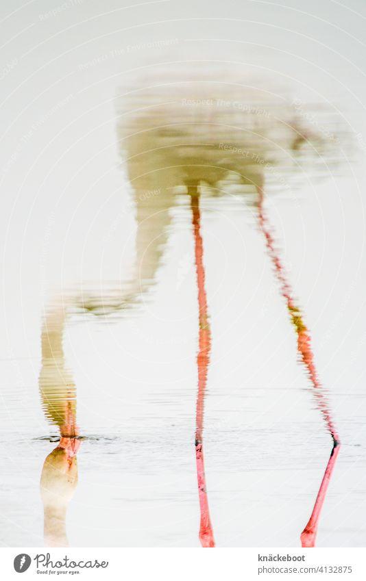 flamingo Flamingo Vogel Wildtier Wasser Natur rosa Spiegelung Farbfoto exotisch Reflexion & Spiegelung See wild Umwelt