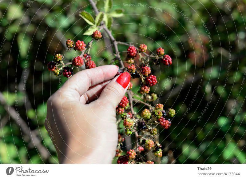 Frau Hand Kommissionierung Beeren oder Ernte. Brombeerstrauch auf einem Zweig Nahaufnahme. Sammeln von Beeren. Reife Brombeeren auf einem grünen Hintergrund