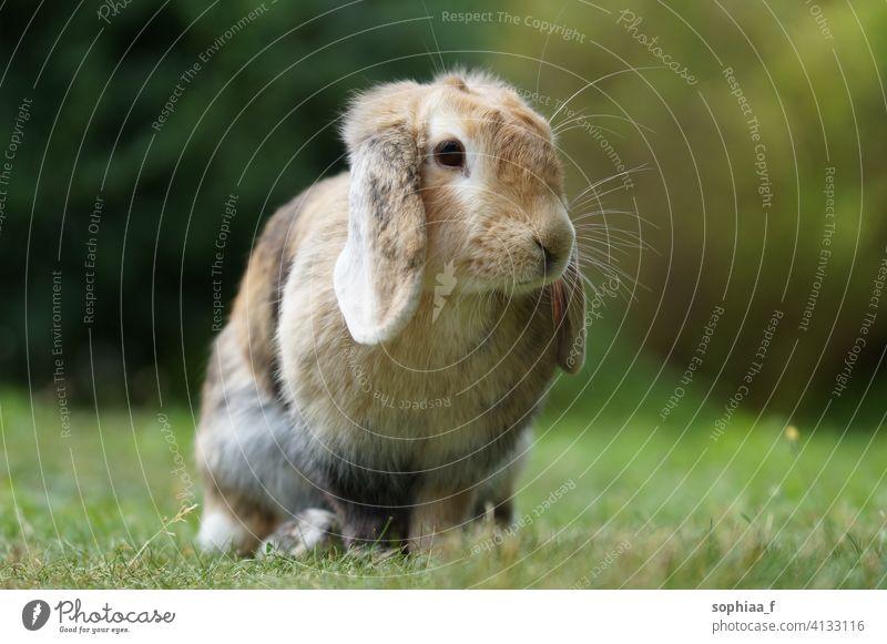 Schopfohr-Zwergwidder-Kaninchen sitzend auf Wiese schiefohrig Rasen Gras niedlich Hase Schlappohren Feld Garten braun lop holländischer Schopf