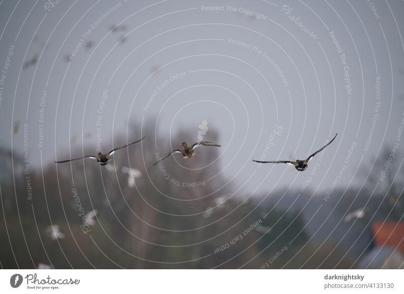 Gänse im Anflug auf eine Naturschutz Gebiet mit einem Schwarm aus Vögeln Anser Anser anser Graugänse Wildgans Vogelflug Außenaufnahme Tier Menschenleer Luft