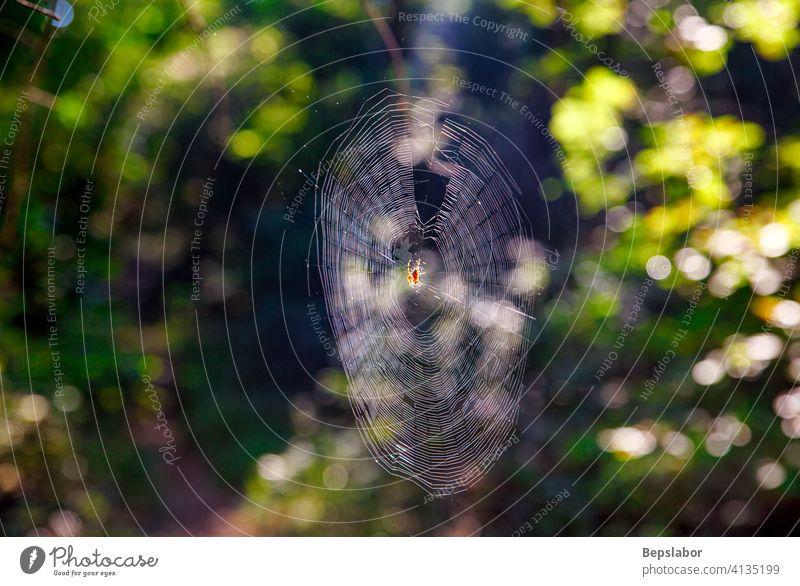 Die Kreuzspinne im Spinnennetz Insekt beängstigend Tier Netz ängstlich errichten Angst vier horizontal Raubtier Fleck Torso bauen Bauherr Umständlichkeit orb