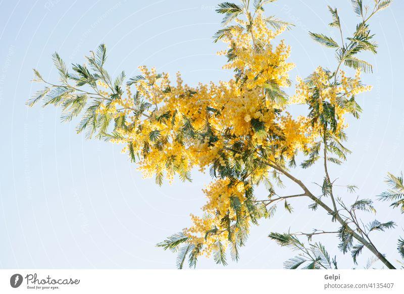 Mimosazweig mit gelben Blüten Mimose Pflanze Natur Frühling Blume Akazie März Hintergrund Baum hell Saison Ast Farbe Blumenstrauß fluffig Tag grün Zweig