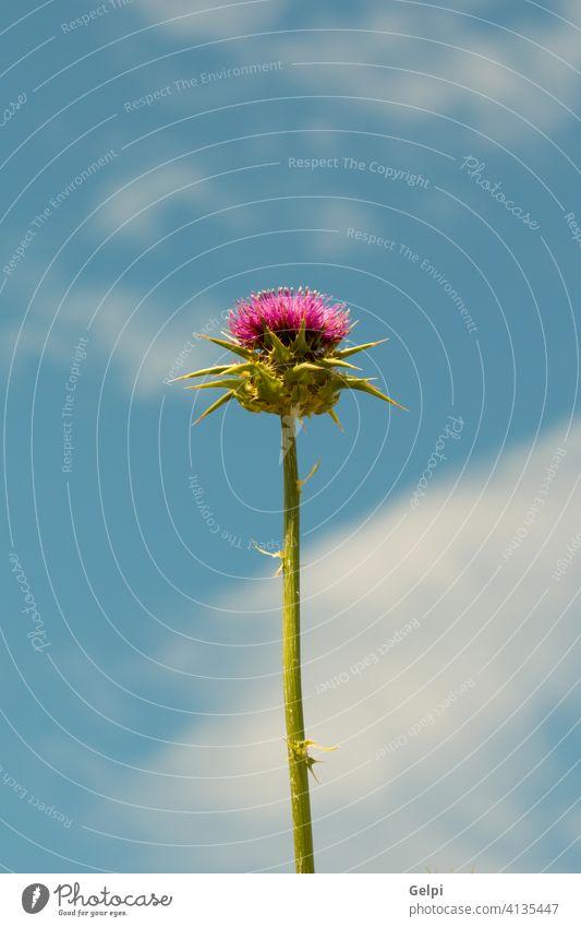 Distel Blume Stachelige Kratzdistel purpur Pflanze grün Sommer Natur geblümt wild Flora Nahaufnahme botanisch Blütenblatt stechend Schönheit Blütezeit Wildblume