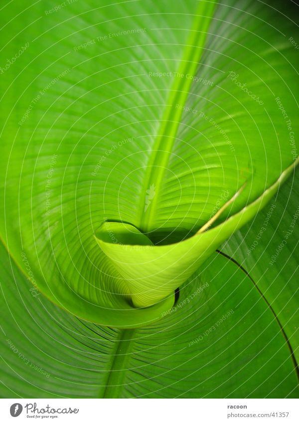 Bananen-Palme grün Spirale Blatt frisch