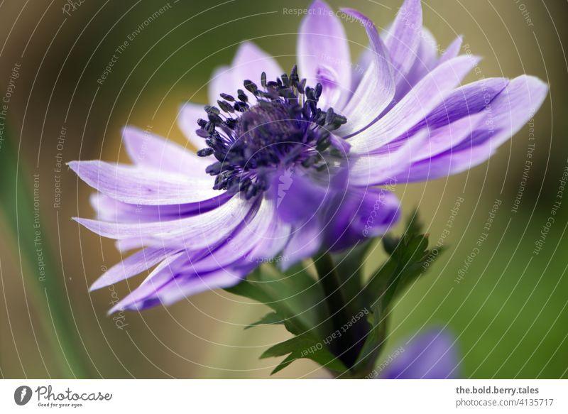 Anemone lila/violett Blume Blüte Schwache Tiefenschärfe Blühend Pflanze Natur Frühling Farbfoto Garten Außenaufnahme Nahaufnahme schön Hintergrund neutral