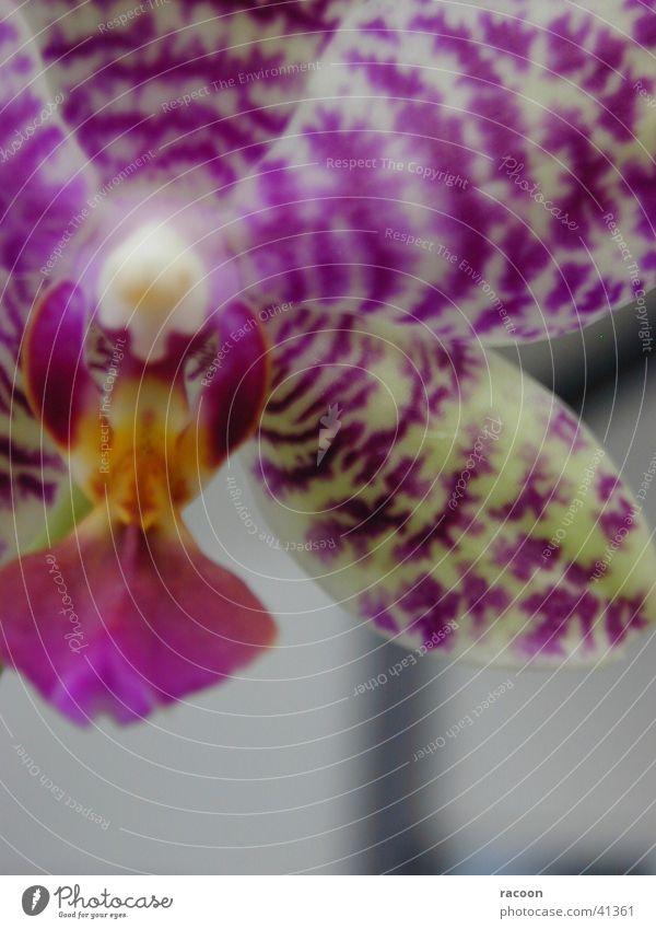 Orchidee Blume violett gelb Nahaufnahme
