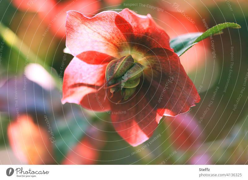 Nieswurz blüht im Frühlingsgarten Helleborus Lenzrose Schneerose Christrose Frühlingsblume April Frühlingserwachen Naturerwachen blühende Frühlingsblume