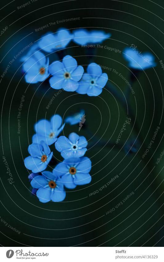 Vergissmeinnicht will nicht vergessen werden Myosotis Vergißmeinnichtblüte Anmut Blütezeit April Mai romantisch heimisch Romantik vergiss mich nicht
