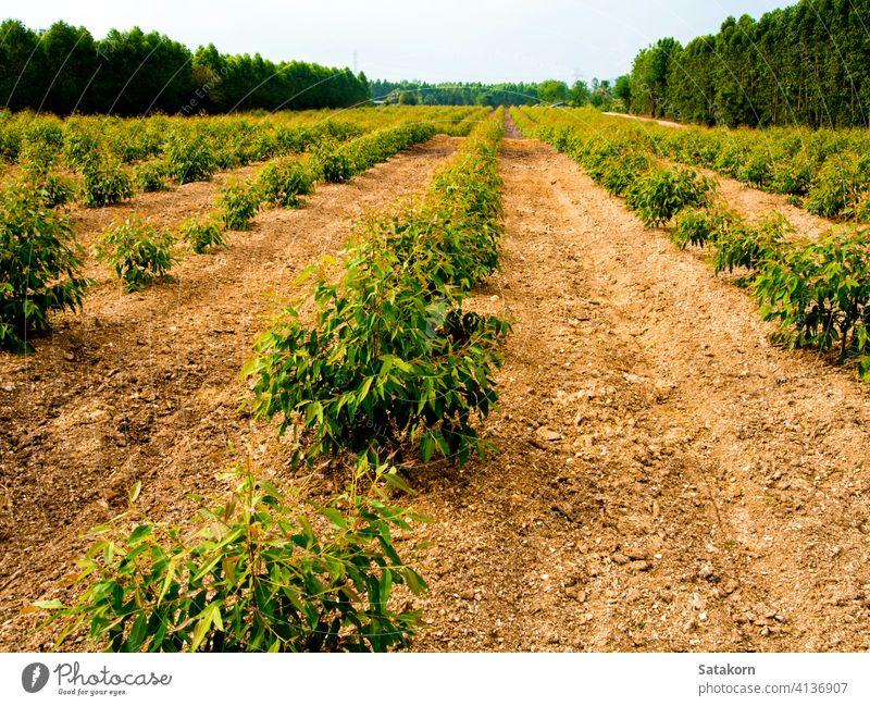 Reihe von Eukalyptusbäumen auf der Farm Baum Feld grün Ackerbau Bauernhof Pflanze Natur tropisch Hintergrund Wald Landschaft im Freien Holz Umwelt Ast Laubwerk