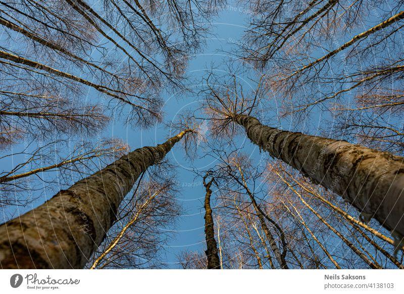 kahle Birken von unten Herbst Hintergrund schön Schönheit Buchsbaum Gesäß Ast hell Windstille Tag Umwelt geblümt Laubwerk Wald frisch grün Wachstum Landschaft