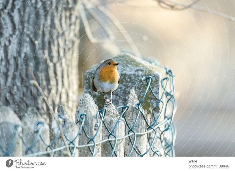 Rotkehlchen der Vogel des Jahres 2021 auf einem Zaun Erithacus rubecula Tier Tiermotive Tierwelt Ast Textfreiraum niedlich Federn Fliege Wald Natur niemand