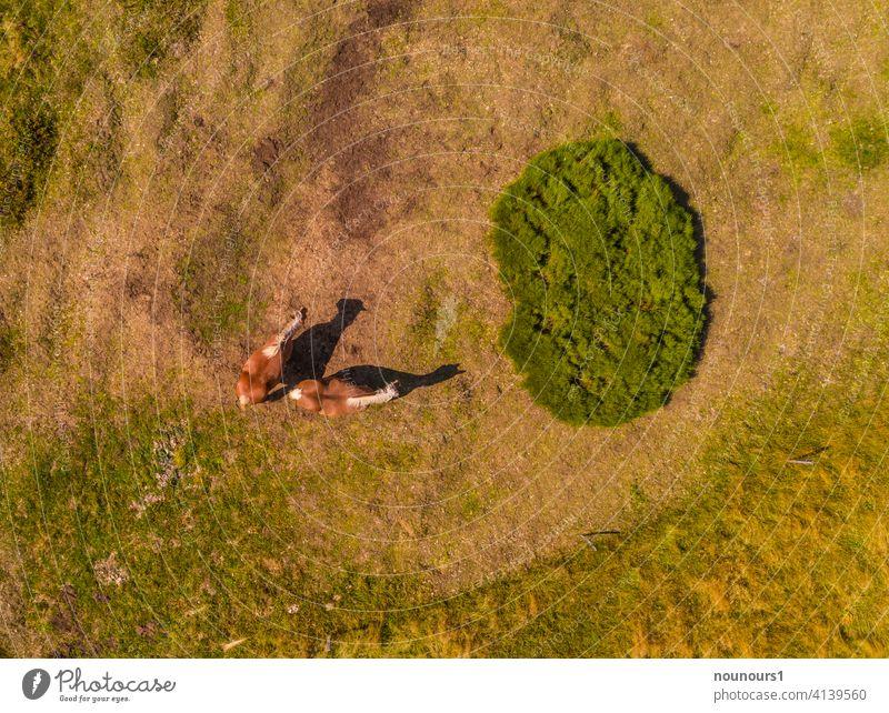 Luftaufnahme zweier Haflinger auf der Weide tier tierwelt haustier nutztier pferde Farbfoto Außenaufnahme Gras Pferd Sommer braun grün Landwirtschaft Pflanze