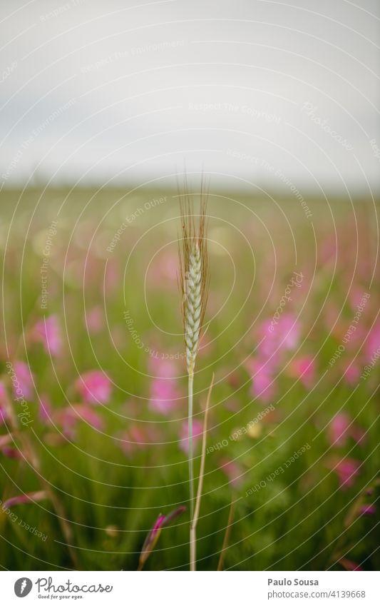 Weizenähre gegen Blumenfeld Frühling Feld Nutzpflanze Ernte Farbfoto Korn Außenaufnahme Pflanze Weizenfeld Natur Ackerbau Ernährung Getreidefeld Wachstum