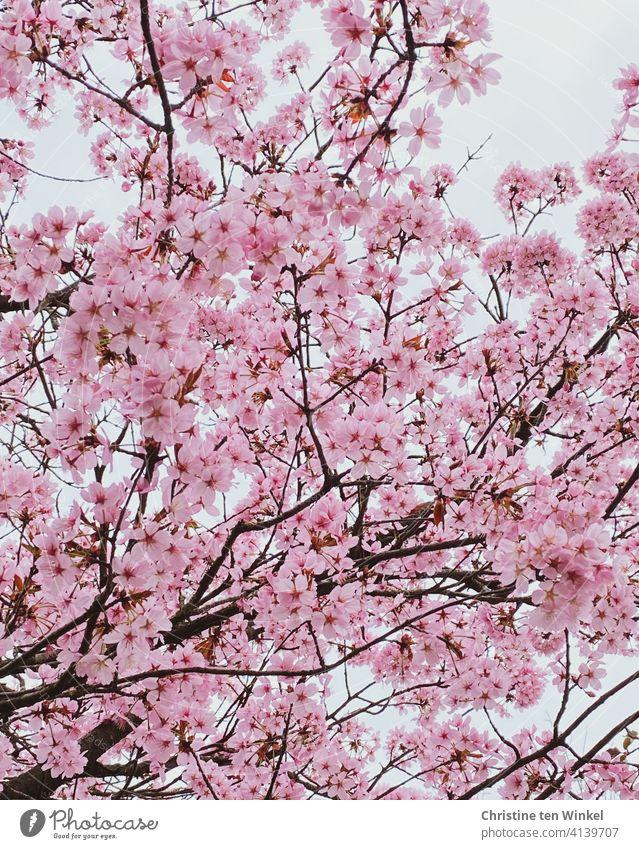*600* Blick nach oben in eine üppig blühende Japanische Zierkirsche Kirschblüten japanische Kirsche Prunus serrulata Blüten Baum Blütenfülle Frühling rosa