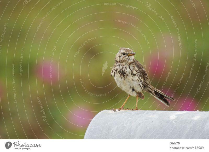 Catch me if you can ... grün weiß Sommer Tier schwarz grau klein Garten braun Vogel rosa sitzen Wildtier Sträucher niedlich beobachten