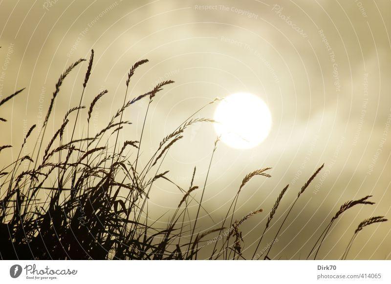 Grashalme gegen die Sonne Natur Himmel Wolken Sonnenlicht Sommer Klima Wetter Schönes Wetter Wärme Pflanze Grünpflanze Wildpflanze Halm Ähren Garten Wiese