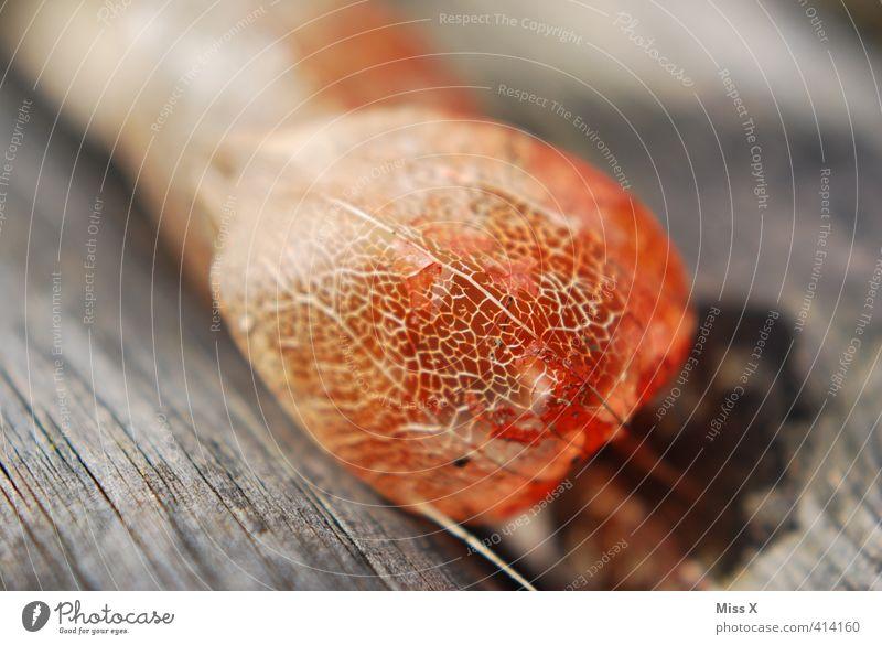 Lampionblume Frucht Blume trocken exotisch Holz Blattadern Farbfoto mehrfarbig Außenaufnahme Nahaufnahme Detailaufnahme Menschenleer Textfreiraum links