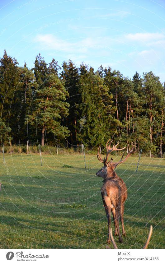 Hirsch Baum Wald Tier Wildtier 1 Schüchternheit Hirsche Horn Rothirsch Gehege Hinterteil flüchten Farbfoto mehrfarbig Außenaufnahme Menschenleer