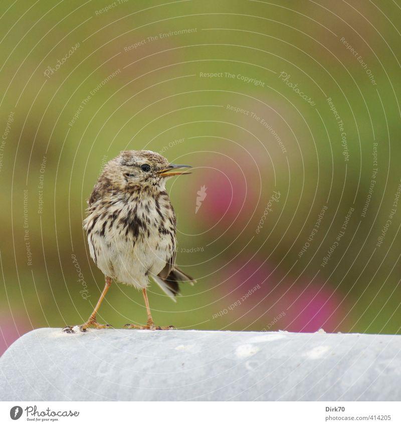 """""""100!"""" Tier Sommer Pflanze Wildpflanze Hundsrose Wildtier Vogel Wiesenpieper Singvögel beobachten Kommunizieren frech frei Fröhlichkeit klein listig Neugier"""