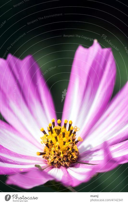 Cosmos bipinnatus heißt sie, diese schöne Blume und wird in Gartenfreundekreisen Cosmea genannt. Cosmeablüte Schmuckkörbchen Blüte Korbblütengewächs Pflanze