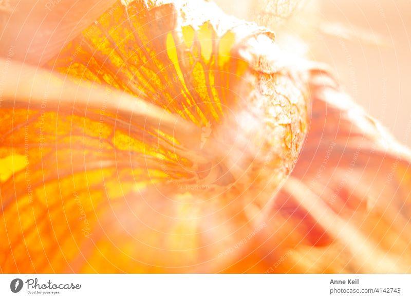 Lampionblumendoppel Doppelbelichtung Farbfoto Menschenleer Natur Pflanze Physalis orange Detailaufnahme