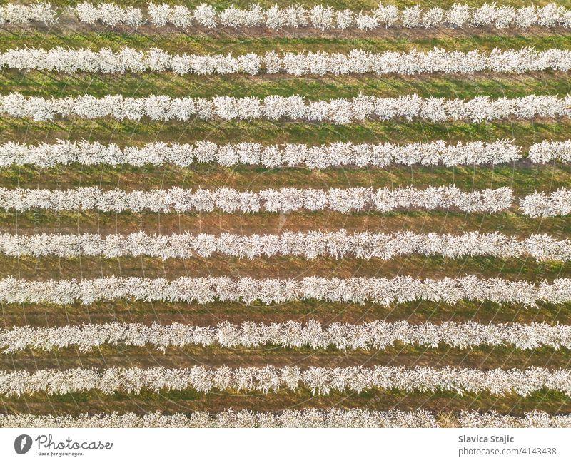 Reihen von Kirschbäumen in einem Obstgarten im Frühling, Luftaufnahme oben Antenne landwirtschaftlich Ackerbau Hintergrund Blüte Kirsche Erhaltung Landschaft