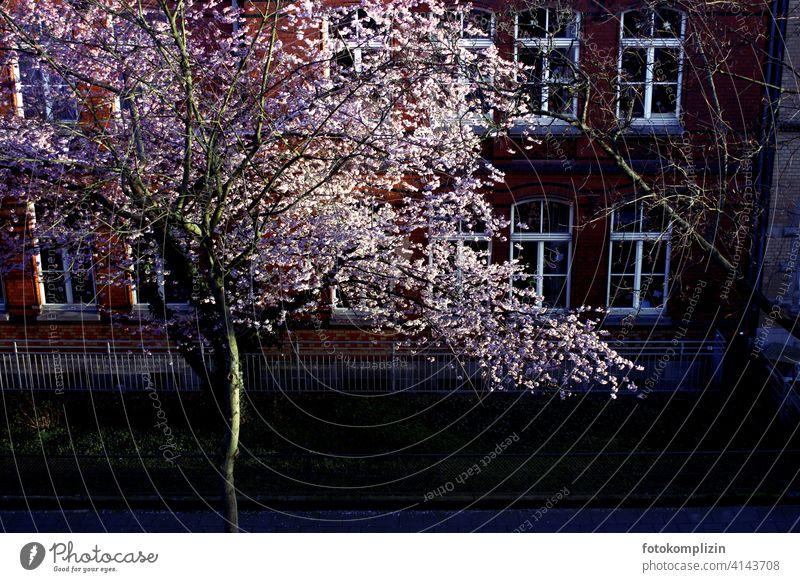 blühender Kirschbaum vor einer Schule Blühend Baum Blüten erblühen Blütenblätter Botanik romantisch Blütenpracht Frühling weiß weiss zart frisch erwachen