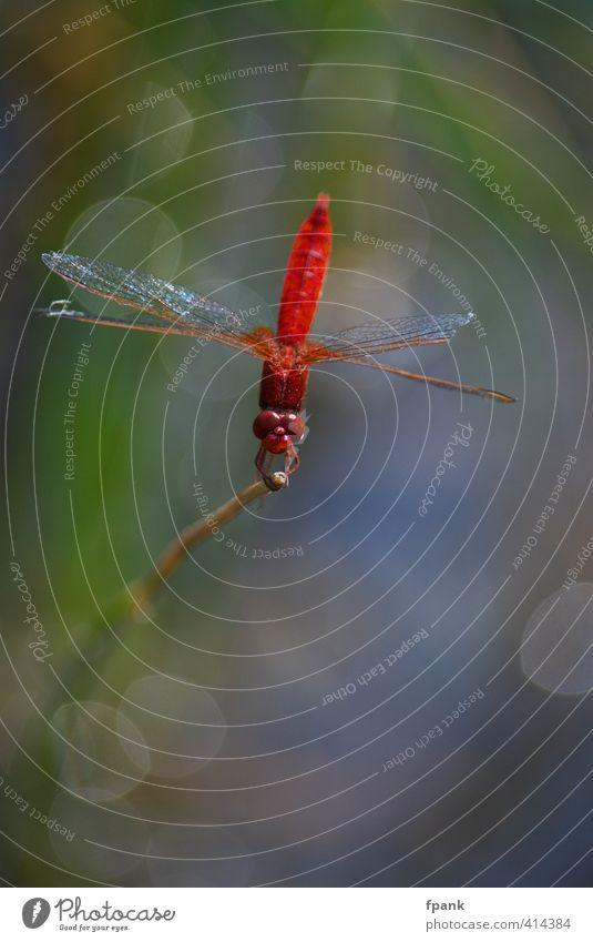 Libellische Lyrik Natur Tier Insekt Libelle Libellenflügel 1 glänzend rot Farbfoto Außenaufnahme Makroaufnahme Tag