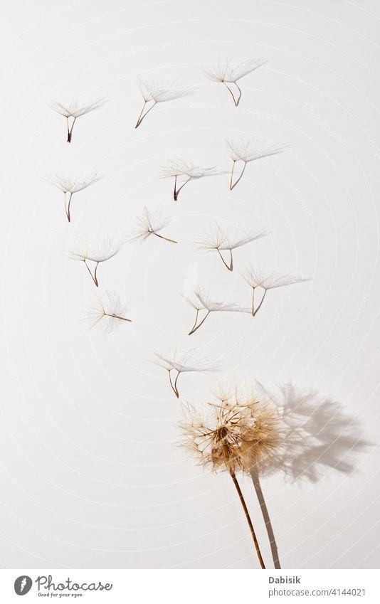 Fliegende Löwenzahnblütenblätter auf weißem Hintergrund Blume fluffig Sommer Kunst schön Schönheit abstrakt Biologie Blüte Schlag blasend Botanik