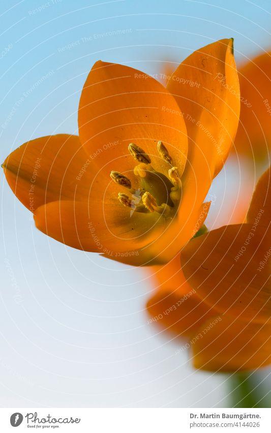 Ornithogalum dubium, orangefarbener Milchstern aus Südafrika aus der Kapprovinz Zwiebelblume Staude Geophyt Pflanze Blume Blüte blühend Endemit endemisch