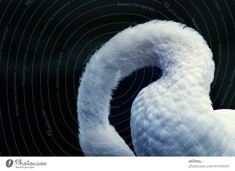 Das scheue Model mit dem Schwanenhals Hals weiß gebogen elegant Wasservogel Textfreiraum Tier neutraler Hintergrund