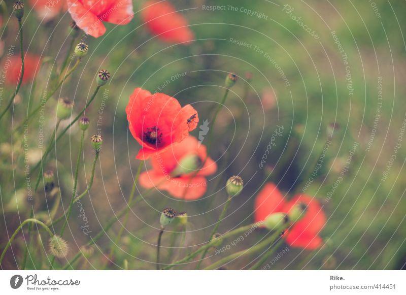 Schlichte Schönheit. Garten Umwelt Natur Pflanze Sommer Blüte Wildpflanze Mohn Mohnblüte Feld Fliege Blühend Wachstum ästhetisch natürlich schön wild weich grün