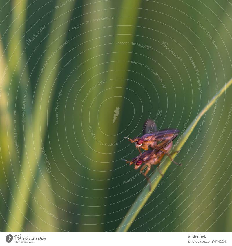 Sex im Freien Freude Natur Tier Sommer Gras Wiese Fliege Insekt 2 Tierpaar Liebe grün rot Farbfoto Außenaufnahme Makroaufnahme Abend Schwache Tiefenschärfe