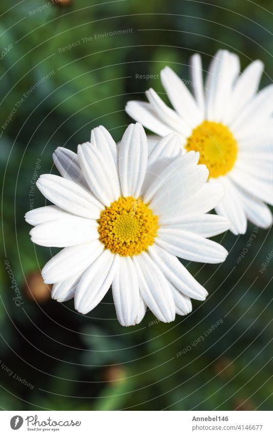 Weiße Gänseblümchen Blumen, Chamomiles Hintergrund Draufsicht, Frühling Natur, Blumen Hintergrund modernes Design medizinisch Spa abstrakt geblümt retro Liebe