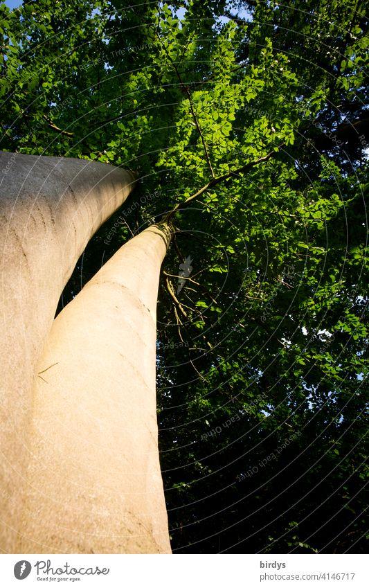 Stämme einer Rotbuche als Zwillingsbaum aus der Froschperspektive ins belaubte Blätterdach Buche Baumstämme Baumkrone Abendlicht Wald Natur Baumstamm Wachstum