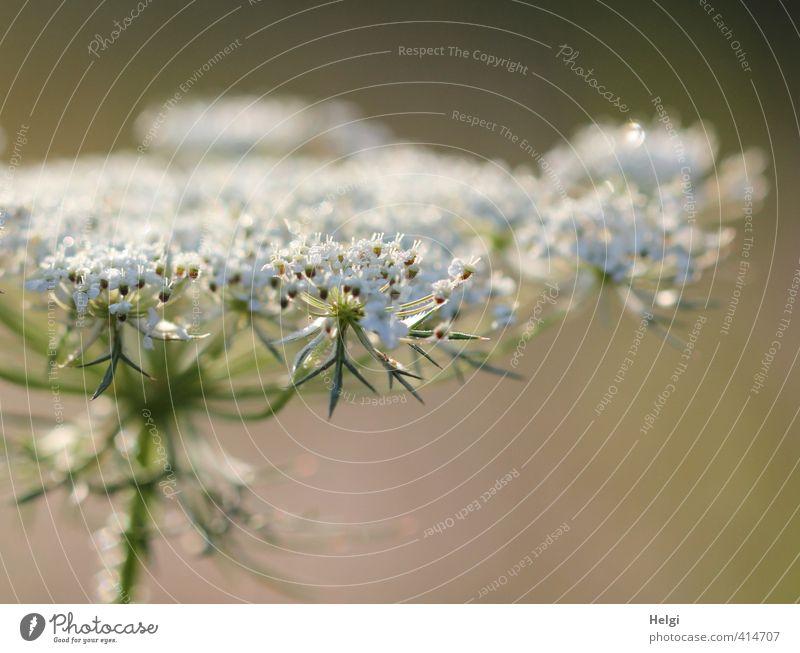Geburtstagsblümchen... Umwelt Natur Pflanze Wassertropfen Sommer Schönes Wetter Blume Blüte Wildpflanze Wiese Blühend glänzend Wachstum ästhetisch schön nass