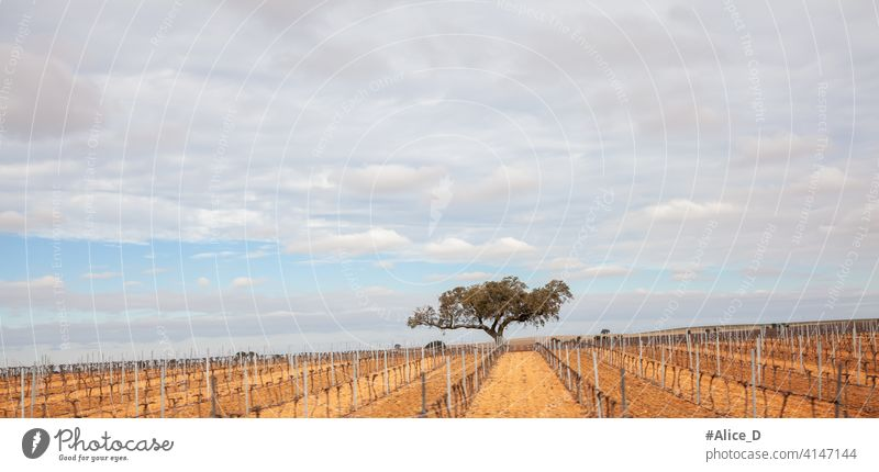 Einsamer Baum in einer Weinbergslandschaft in Andalusien Ackerbau Andalusia Hintergrund schön Blauer Himmel Wolken Farbe Landschaft kultiviert trocknen Umwelt