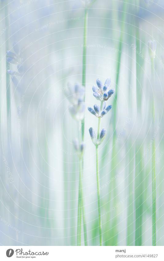 Lavendel. Unscheinbar aber Dufte Pflanze Blüte Blütenknospe violett Farbfoto Natur Blume Sommer Schwache Tiefenschärfe natürlich Stängel Blühend Garten Wachstum