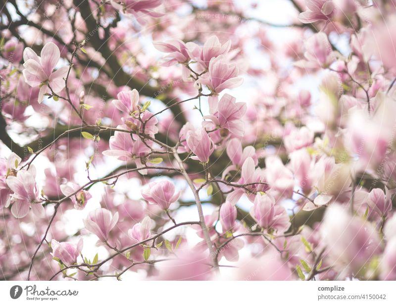 Zarte Magnolien Zweige mit Blüten im Frühling Wachstum Pflanze Hintergrundbild Wellness Baum schön Natur natürlich Duft Spa Blume Blühend Magnoliengewächse