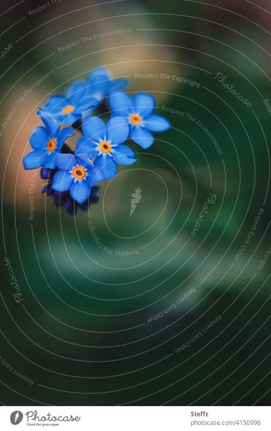 Vergissmeinnicht blüht romantisch im Frühlingsgarten Myosotis Blütezeit April Mai heimisch Anmut Romantik Vergißmeinnichtblüte vergiss mich nicht