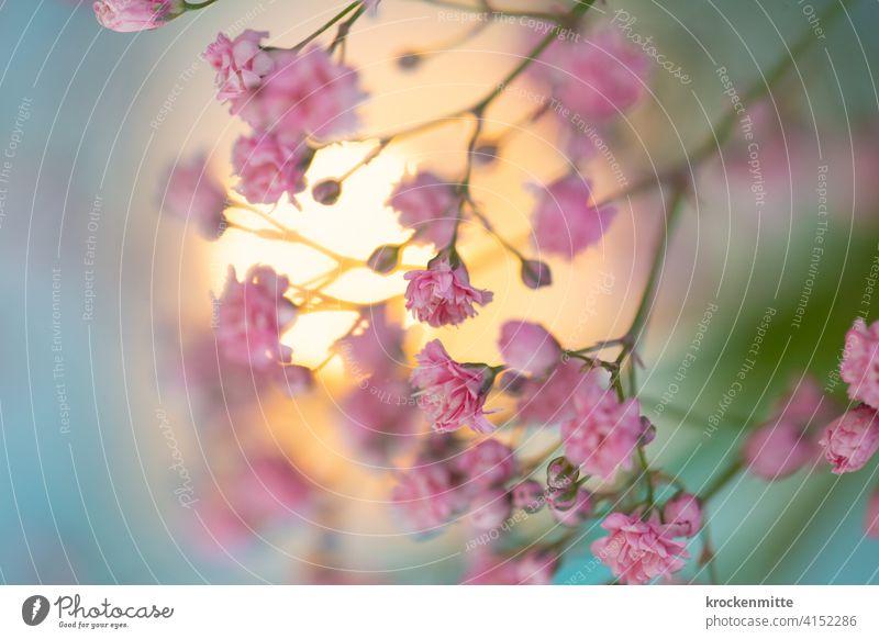 Schleierkraut mit rosafarbenen Blüten im Sonnenlicht Blume Blumenstrauß Dekoration & Verzierung Farbfoto Pflanze Muttertag Natur Valentinstag rosarot Rosa Farbe