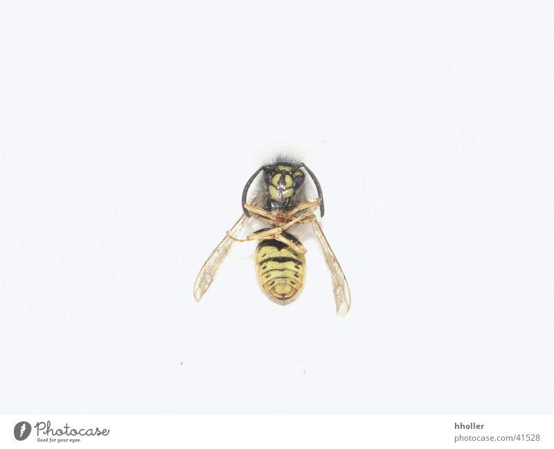 Tote Wespe Tod Verkehr Insekt Wespen Fluginsekt