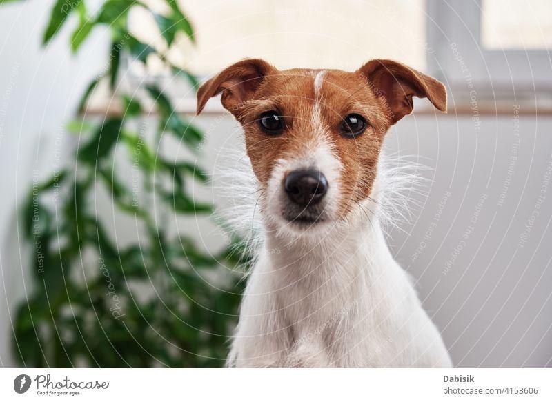Hundeporträt zu Hause. Jack Russell Terrier schaut in die Kamera Haustier allein Tier jack russell niedlich schön heimwärts Pflanze traurig Besitzer Porträt