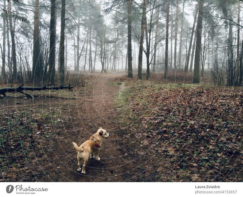 Der Gog auf dem Spaziergang im Wald Hund Hundeauslauf Hundeausführen Gassi gehen Außenaufnahme Farbfoto Haustier Tier Natur laufen Baum Bäume Windstille Umwelt